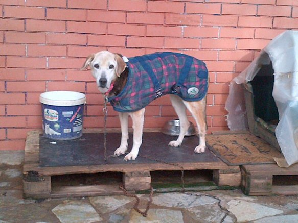 This is Soraya, an older dog, sporting a smart Burberry jacket — each dog at the shelter receives the best possible care