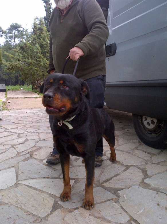 Sweet-natured Rottie Melissa had already had a long day's travel from Thessaloniki, but still managed to give everyone lovely 'hello' licks