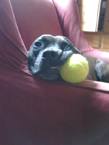 But not all Staffies are similarly gifted — Pugsley (aka Superbeast), who belongs to couriers J and R, can only manage one!
