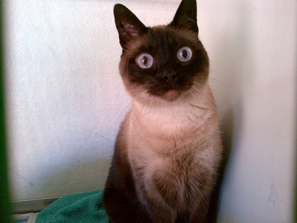 Siamese cross Sophie was thrown out of the window by her former owner when she came into season