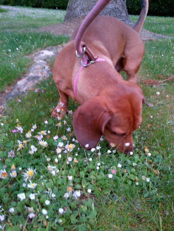 Guiseppe enjoys a good snuffle about…