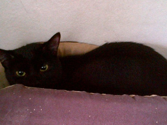 Shadow is a well named beautiful little black cat