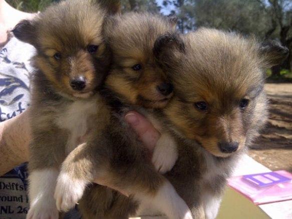Three cute Sheltie pups