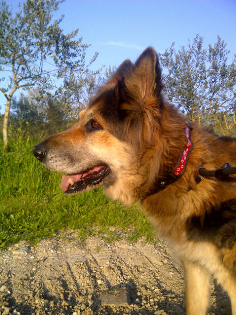 A lovely sunny evening in Ancona — Lisa is gradually losing the loose tufts of her winter coat and starting to look less like a teddy bear and more like the German Shepherd Dog she really is!