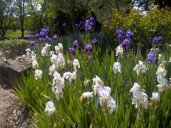 White irises as well as the more common purple ones