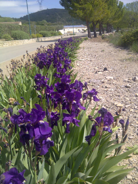 A wonderful show of irises in the Languedoc sunshine