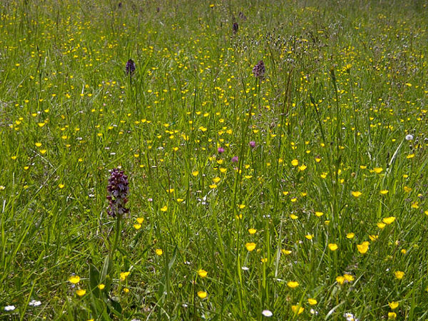The meadows around La Bedouce were full of wildflowers. Can you help identify them?