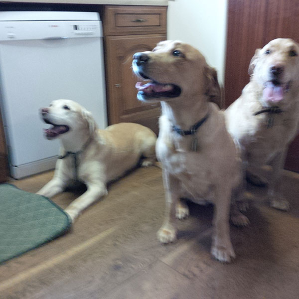Labrador family Bibi with son Digger and daughter Kizzy