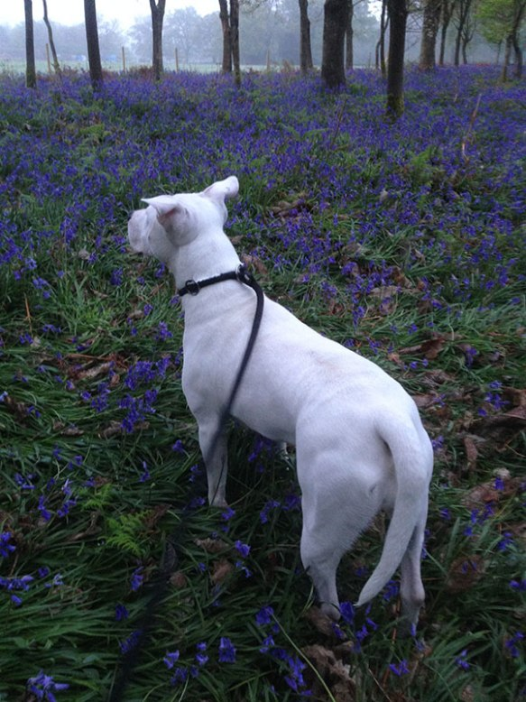 Biscuit admires the English spring flowers