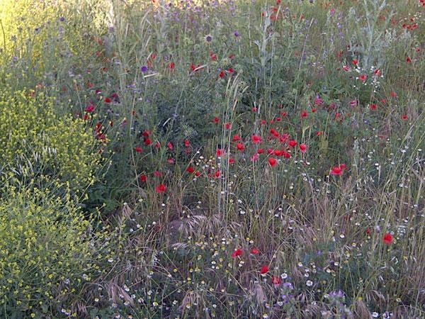 Beautiful wild flowers around Ciudad Rodrigo