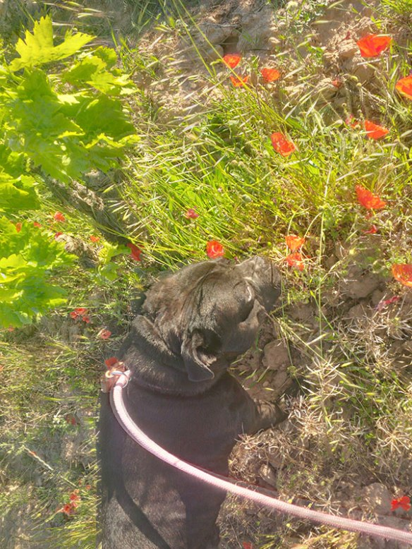 Arfa isn't really a chap to sniff around in the undergrowth, he's more keen on moseying about at his own gentle pace, keeping a lookout for anyone who might like to admire him!