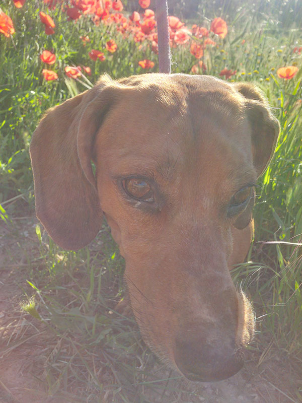 Guiseppe enjoys the early morning Spanish sunshine as he walks through a field of poppies