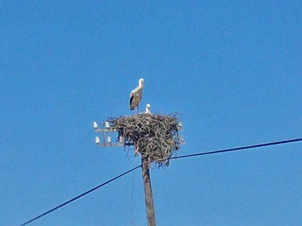 Stork lookout, guarding eggs