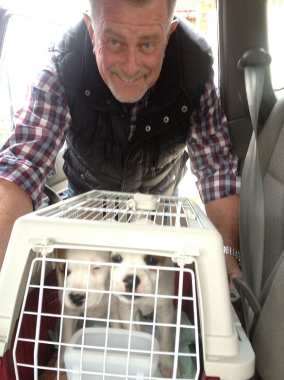 Jack Russell Terrier pups Pete and Mia on their way to their new home