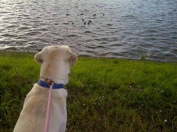 Deejay spots some ducks at Lac de Bordeaux — it took quite a bit of effort to stop him joining them!