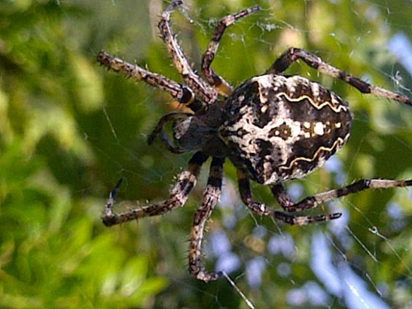 One of the huge spiders in glorious close-up