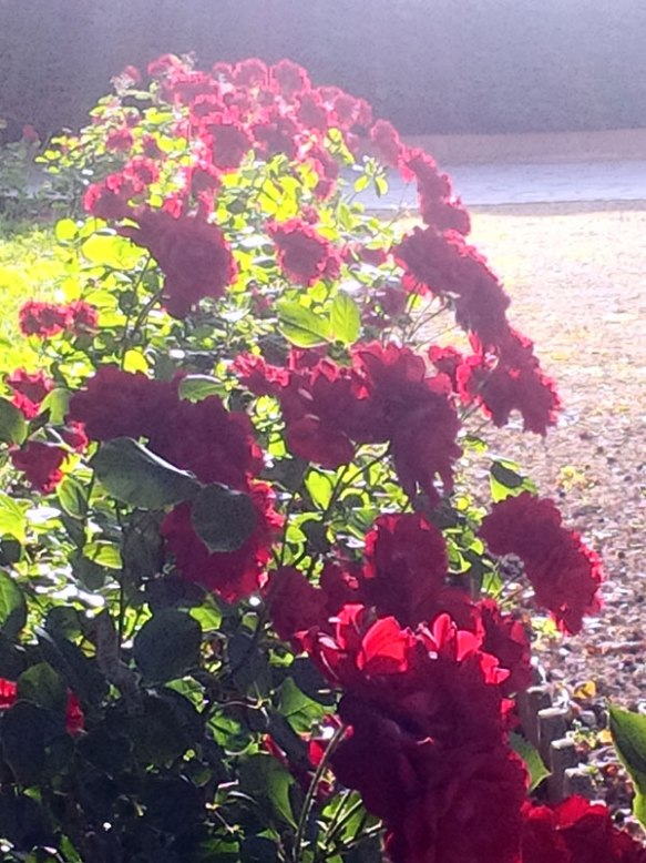 Roses in the early morning sun