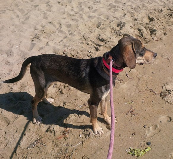 Kaluha tries a walk on the beach. A little wary as she's clearly not used to the sea, but very interested in the waves and the smells.