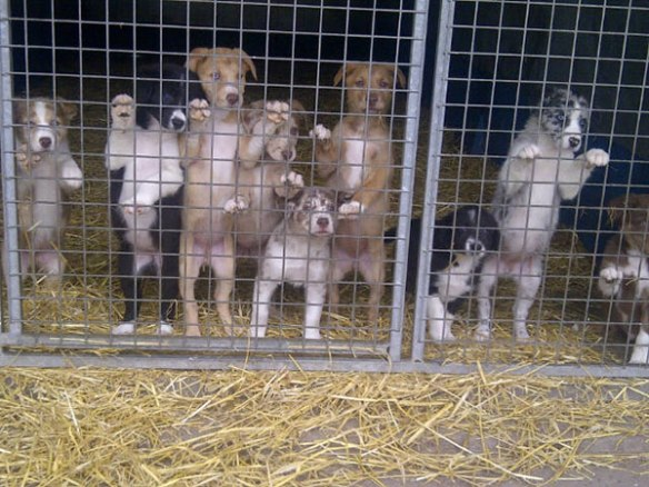 Sally's Lurcher Collie pups are all very alert and pleased to meet new people