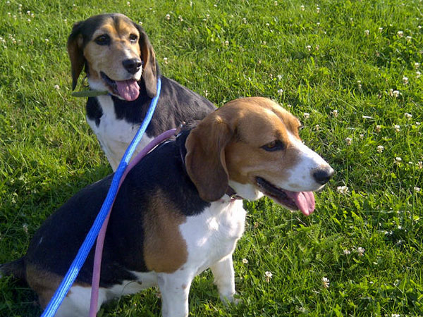 Basking Beagles on their evening walk in the LImousin region