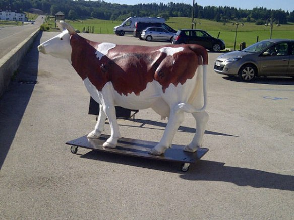 A novel method of cow transport — an oversized skateboard!