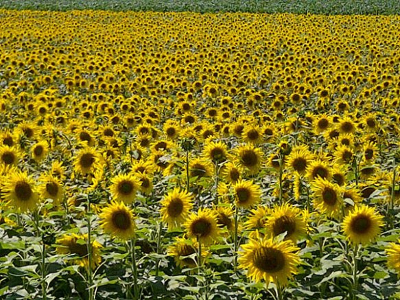 Sunflowers on a sunny day — we never tire of this sight however many times we travel through mainland Europe