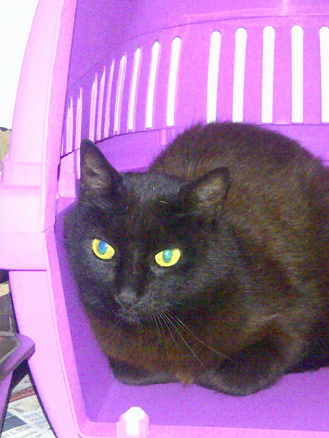 Noir was reasonably cooperative about being scooped up into a cat box to transfer to our van