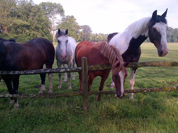 Horses watching Cooper out walking with courier S. He's such a big dog, perhaps they were wondering if he was a new pony come to join the farm!