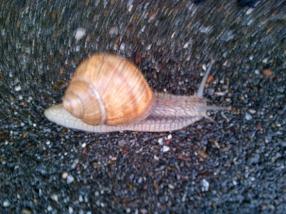 Heavy storms and rain last night drove hordes of huge snails out onto the pavements in Stuttgart