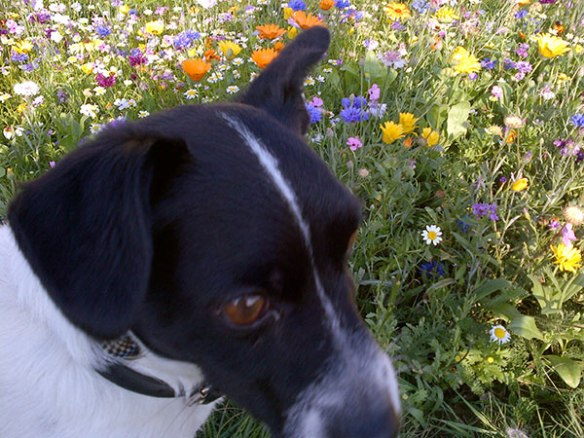 Frank found a patch of pretty flowers that set off his black-and-white colouring perfectly