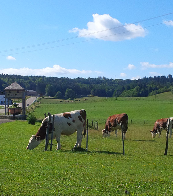 The grass is always greener… some of the beautiful (and clever) cows whose milk goes into comté cheese