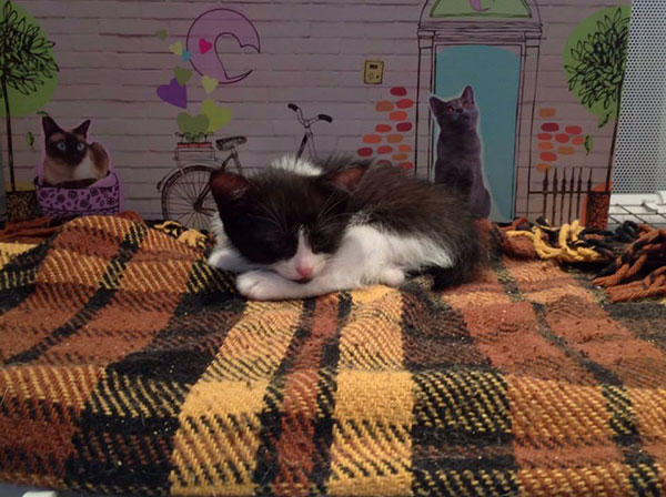Frankie, one of the Chats du Quercy kittens, looking for a home