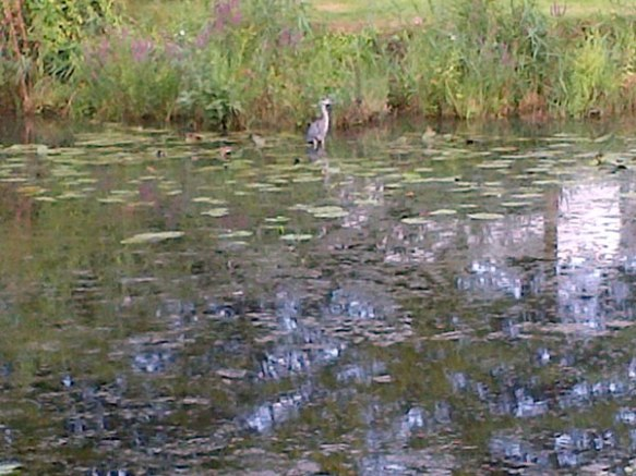 …a heron, helping itself to breakfast from the lake