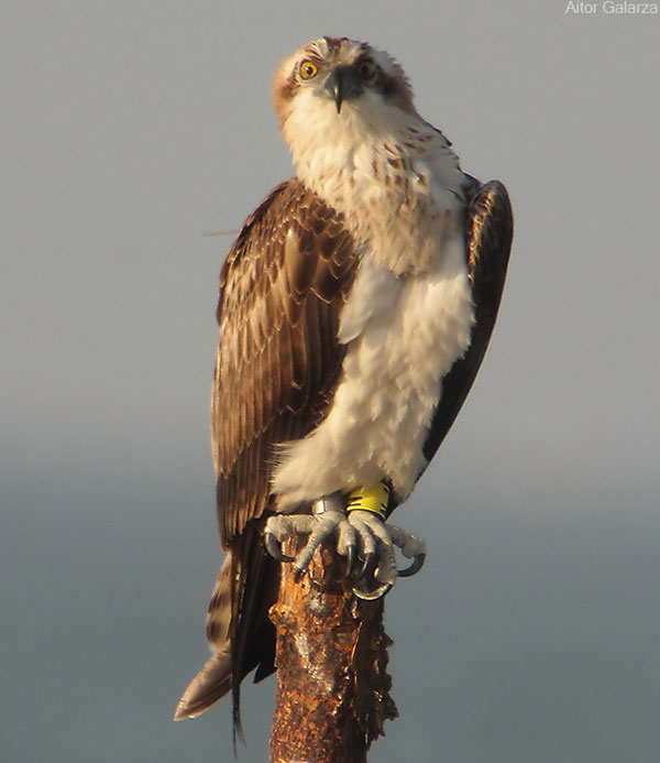 One of last year's female Ospreys on the coast of Senegal last December