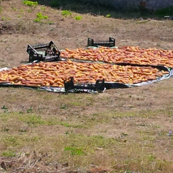 Spotted on our drive — maize (sweetcorn) drying in the sun