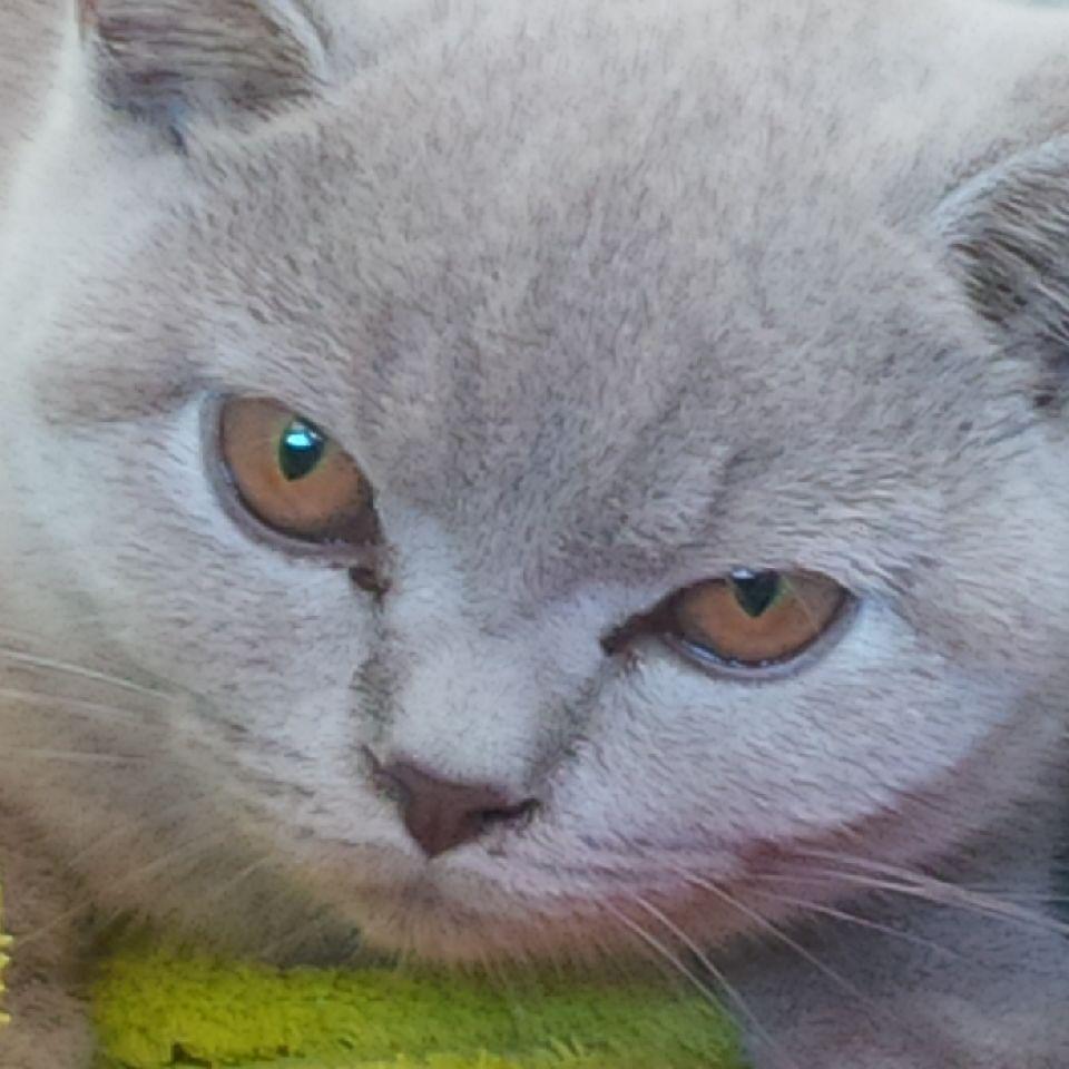 Stunning British Shorthair kitten Aphrodite
