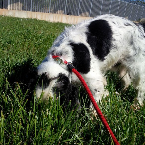 Spaniels like Darius normally have their tails high and their noses down…