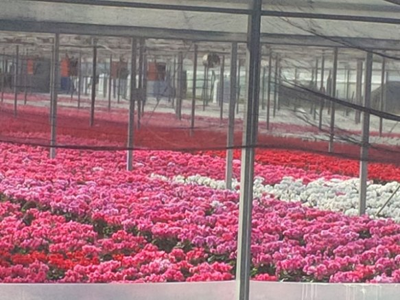 We found ourselves in the cyclamen-growing area of italy — wonderful bright reds, magentas and pinks, offset by white
