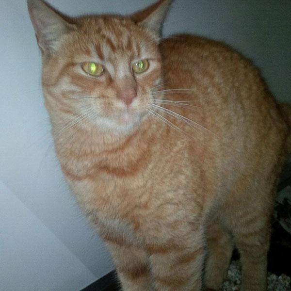 Lovely ginger tabby Kitteon