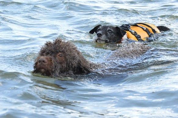 Both dogs enjoying a swim