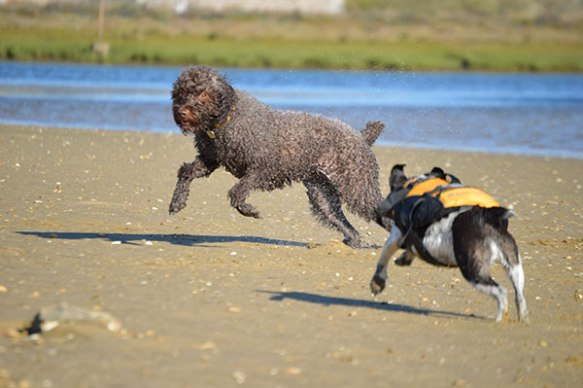 Lola leaping on the beach as she plays with Millie