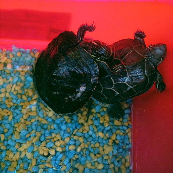 Terrapins Thor and Odin, who joined us yesterday with cats Cerys and Dylan