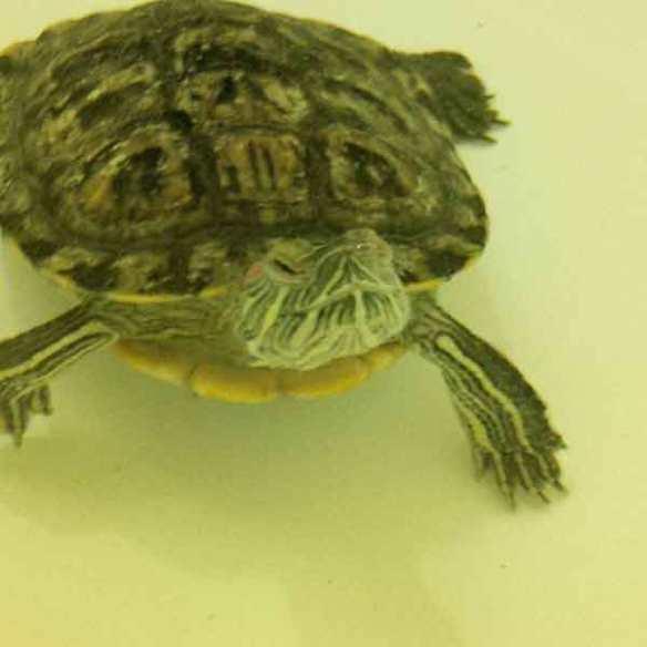Garnet, a female Red-eared Slider turtle