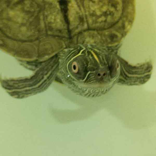 Leo, a Mississippi Map turtle