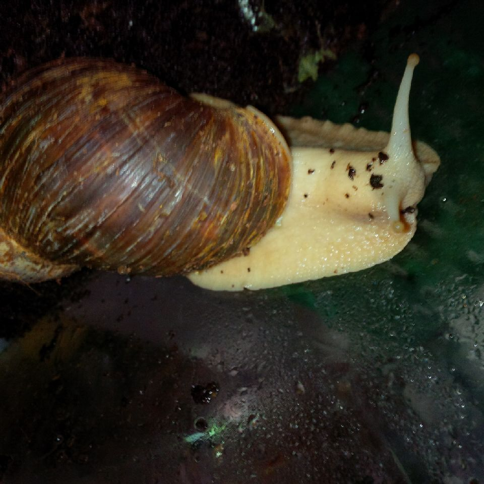 Gerry has several different species of African Land Snails that she got from African food markets in London where they're sold to African ex-pats looking for a taste of home.