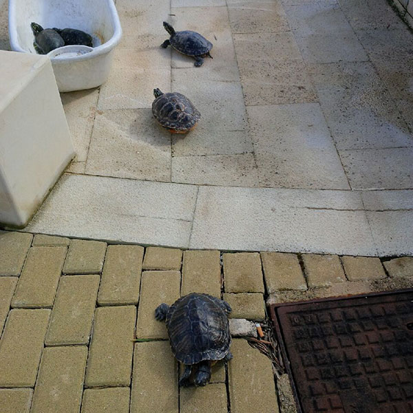The sun came out so we gave the turtles the chance to catch some rays and stretch their legs