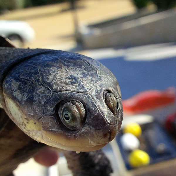 Australian Snake-necked Turtle Sanka. They hunt by lying in mud at the bottom of a lake, sensing small creatures in the mud using their barbels, or spotting their food visually. They strike with astonishing speed, much like a snake. They choose prey they can swallow whole as they can't chew (a bit like most teenagers).