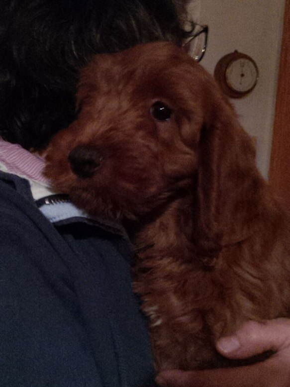 Cute Cockerpoo puppy Alfie gets a cuddle