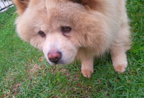 Fluffy young bundle of ChowChow, Winnie