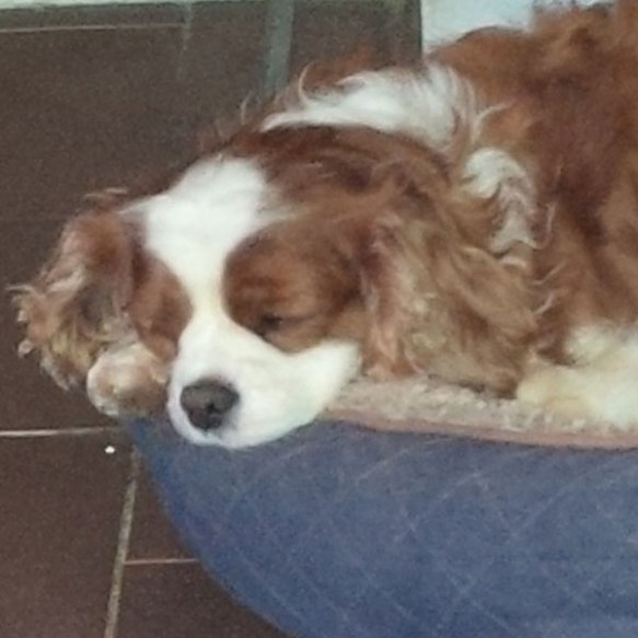 Daisy, a beautiful Cavalier King Charles Spaniel, snored her way through the journey, completely at ease on her big adventure